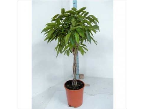 Фикус Бин Амстел Кинг Мульти Твист Ficus Bin Amstel King Multi Twisted