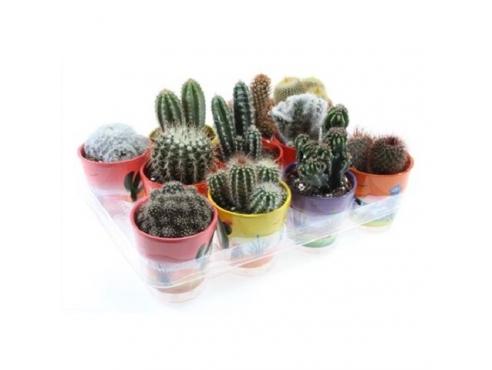 Кактус микс Cactus Mix In Mexico Pot