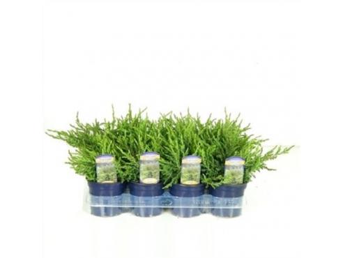 "Можжевельник обыкновенный ""Репанда"" Juniperus Communis Repanda"