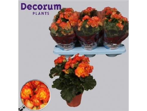 Бегония Бодиния Рио Йеллоу Begonia Bodinia Rio Yellow (decorum)