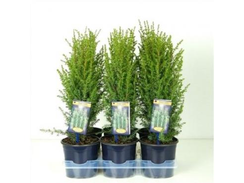 """Можжевельник обыкновенный """"Арнольд"""" Juniperus Communis Arnold"""