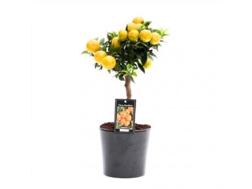 """Цитрус """"Мандарин"""" подарочный набор в римской керамике Citrus Mandarin In Ceramic Roma"""
