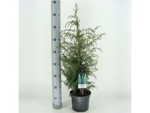 """Можжевельник обыкновенный """"Суецика"""" Juniperus Communis Suecica"""