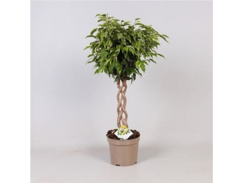 Фикус Бенджамина Анастасия Твист Ficus Be Anastasia Twisted
