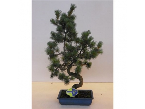 "Бонсаи ""Пинус Пентафилла Парвифлора"" Bonsai Pinus Pentaphylla Parviflora"