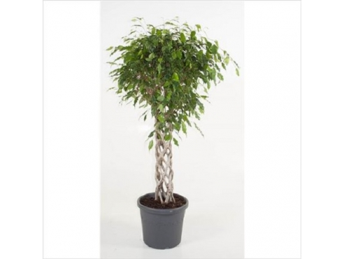 Фикус Бенджамина Экзотика Твист Туб Ficus Be Exotica Twisted Tube