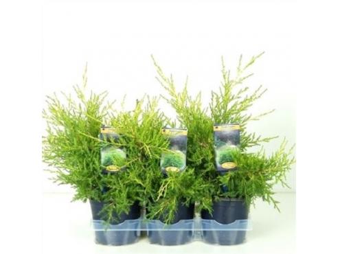"""Можжевельник китайский """"Куривао Голд"""" Juniperus Chinensis Kuriwao Gold"""