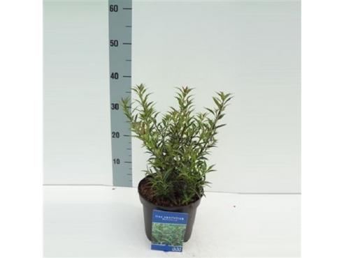 """Падуб остролистный """"Миртифолия"""" Ilex Aquifolium Myrtifolia"""