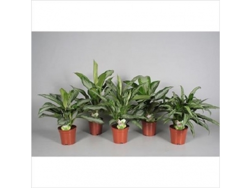 Аглаонема микс Aglaonema Mix Big Leaf 5-6 Varieties (decorum)