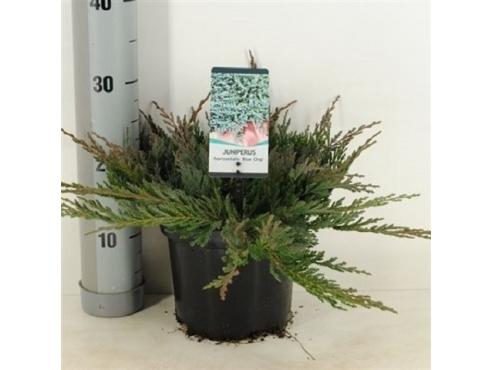 """Можжевельник горизонтальный """"Блю Чип"""" Juniperus Horizontalis Blue Chip"""