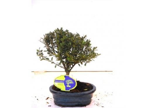 "Бонсаи ""Илекс Крената"" Bonsai Ilex Crenata Broom In Oval Pot"