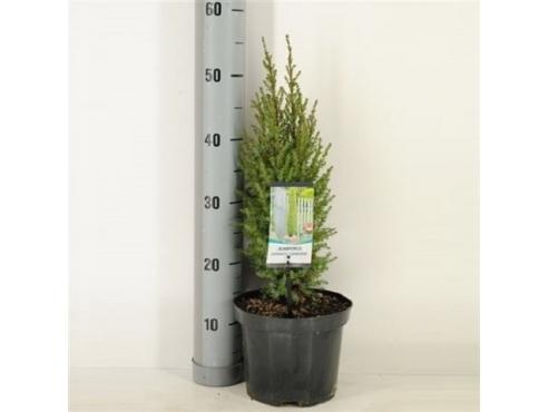 """Можжевельник обыкновенный """"Компресса"""" Juniperus Communis Compressa"""