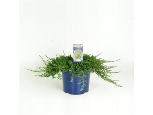 """Можжевельник горизонтальный """"Вилтони"""" Juniperus Horizontalis Wiltonii"""