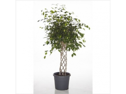 Фикус Бенджамина Экзотика Флат Твист Ficus Be Exotica Flat Twisted