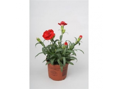 """Диантус """"Ред"""" Dianthus Red"""