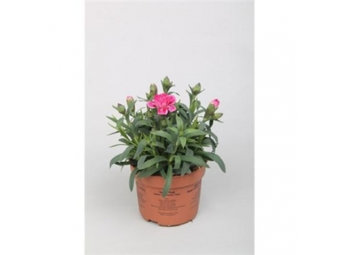 """Диантус """"Оскар"""" Dianthus Oscar"""