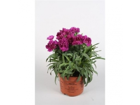 """Диантус """"Санфлор Пасео"""" Dianthus Sunflor Paseo"""