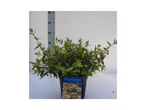 "Абелия крупноцветковая ""Хэппи Дайдрим"" Abelia Grandiflora Happy Daydream"