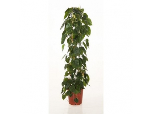 "Филодендрон ""Зуил"" Philodendron Scandens Zuil"
