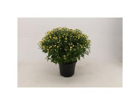 """Хризантема садовая """"Гарден Мамз"""" Chrys Ind Garden Mums Yellow"""