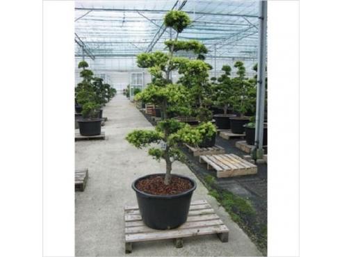 Бонсаи Илекс Крената Bonsai Ilex Crenata (garden Trees)