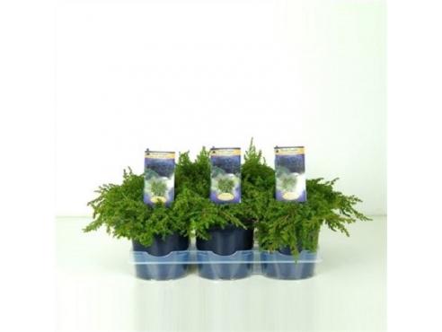 """Можжевельник обыкновенный """"Грин Карпет"""" Juniperus Communis Green Carpet"""