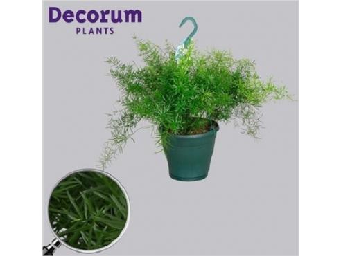 Аспарагус Шпренгера Asparagus Sprengeri (decorum)