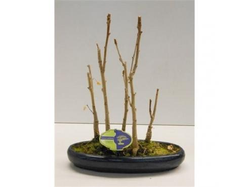 Бонсаи Гингко Билоба Bonsai Ginkgo Biloba Group-5-trees