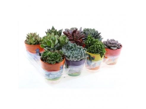 Суккуленты микс Cactus Mix In Mexicopot
