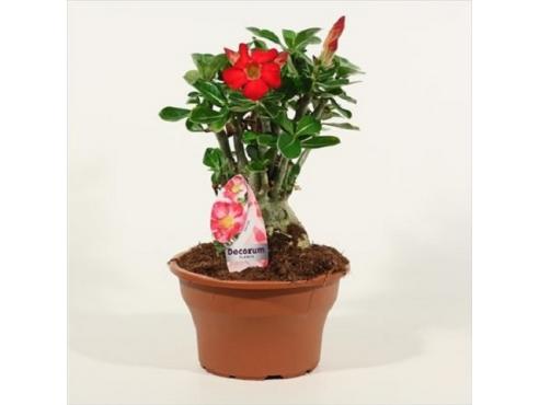 Адениум Мультифлора Ред Adenium Multiflora Red (decorum)