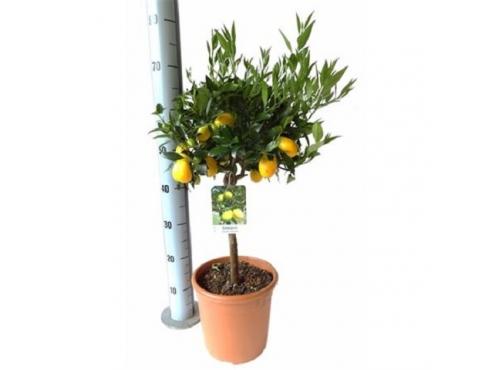 """Цитрус """"Лаймкват"""" Citrus Limequat On Stem"""