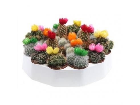 "Кактус ""Драй Флауэрс"" Cactus Mix Dry Flowers Round"