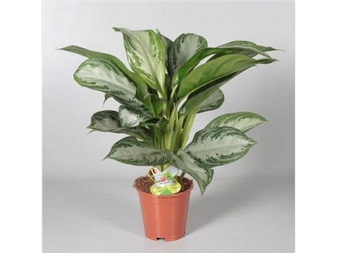Аглаонема Сильвер Бэй Aglaonema Silver Bay (decorum)
