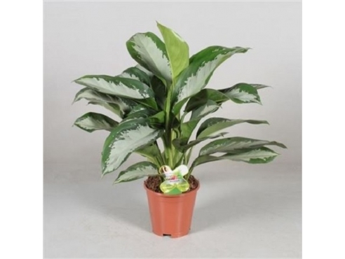 Аглаонема Даймонд Бэй Aglaonema Diamond Bay (decorum)