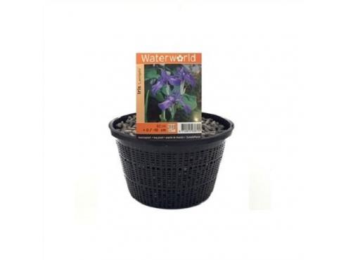 Ирис гладкий Iris Laevigata - Mand 22 Cm