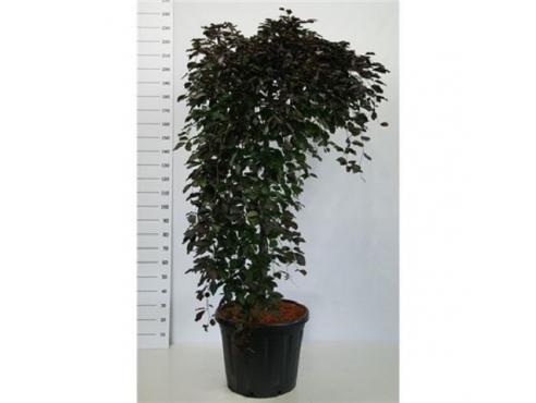 """Бук лесной,европейский """"Пурпурея Пендула"""" Fagus Syl. Purpurea Pendula"""