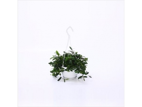 Фикус Анук Смолл Свинг Ficus Anouk In Small Swing