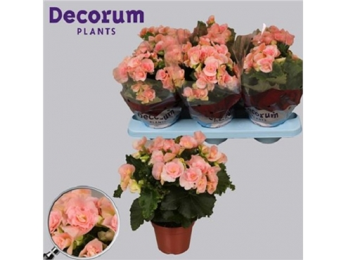 Бегония Бодиния Лайт Пинк Begonia Bodinia Light Pink