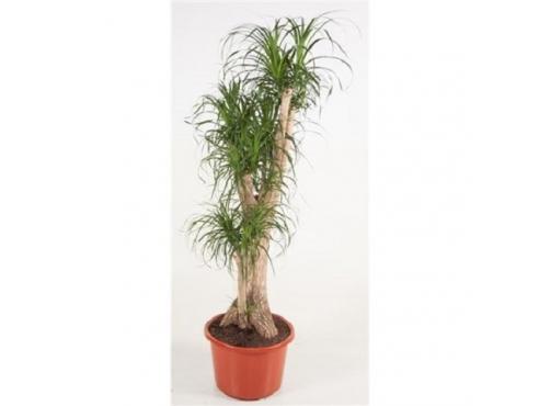 Бокарнея Нолина бутылочная пальма бранч Beaucarnea Recurvata Branched