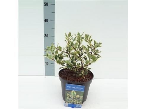 """Падуб остролистный """"Ферокс Аргентиа"""" Ilex Aquifolium Ferox Argentea"""