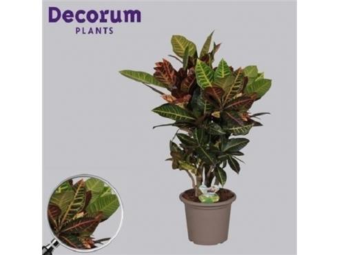 """Кодиеум """"Петра"""" Codiaeum Branched Petra In Deco Pot (decorum)"""