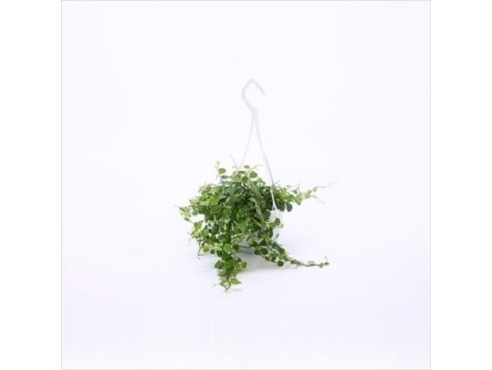Фикус Пумилла Ficus Pumila White Sunny Small Swing