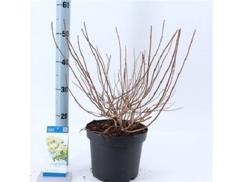 "Гортензия метельчатая ""Бомбшелл"" Hydrangea Paniculata Bombshell"