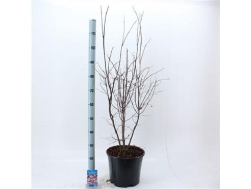 Клён японский красный дланевидный веерный Acer Palmatum Atropurpureum