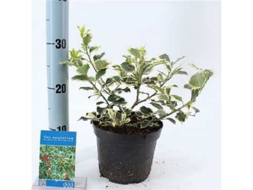 """Падуб остролистный """"Аргентиа Маргината"""" Ilex Aquifolium Argentea Marginata"""