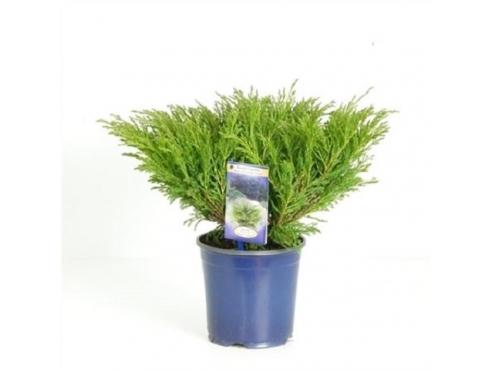"""Можжевельник горизонтальный """"Андорра Компакт"""" Juniperus Horizontalis Andorra Compact"""