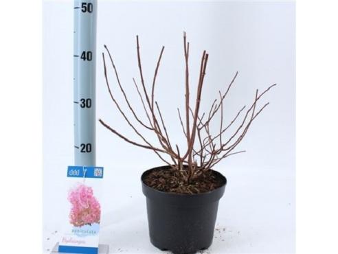 "Гортензия метельчатая ""Сандей Фрайз"" Hydrangea Paniculata Sundae Fraise"