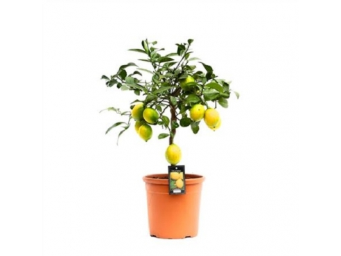"""Цитрус """"Лимон Мейера"""" Citrus Meyer On Stem"""