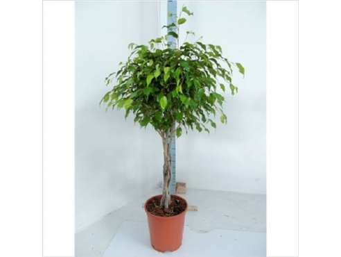 Фикус Бенджамина Экзотика Фат Твист Ficus Be Exotica Fat Twisted Stem