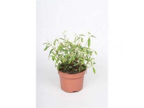 """Эуфорбия """"Диаманд Фрост"""" Euphorbia Diamond Frost"""